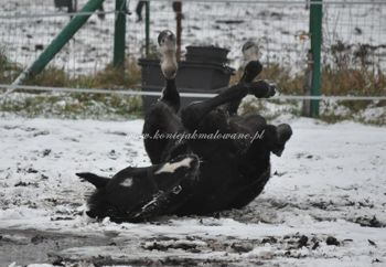 2012.01.05 - Pierwszy śnieg źrebaków